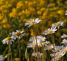 Road Side Daisies by Stan Wojtaszek