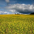 Field of Yellow by Patrick Downey