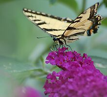 tiger swallowtail butterfly by paul gavin