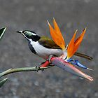 Blue Faced Honeyeater by Joy & Rob Penney
