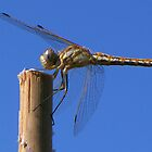 Blue Skies and Dragon Flies by Tamara Mason