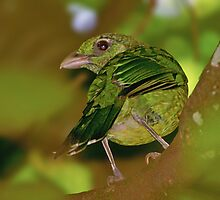 Green Catbird by Robert Elliott