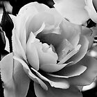 White rose in monochrome by Elana Bailey