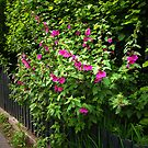 Hollyhock fence  by steppeland