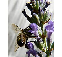 bee wings Photographic Print