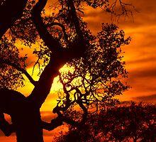 Texas Oak Tree in Silouette .............Sunset in JULY 2009 by kellimays