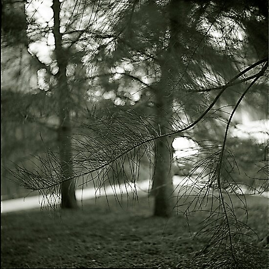 Casuarina (sheoke) by Maggie Hegarty