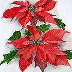 poinsettias by shagufta