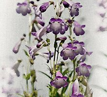 Purple by Catherine Hamilton-Veal  ©