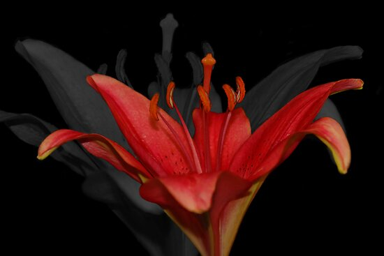 Asiatic Lily by imagesbyjd