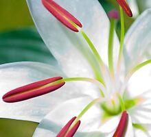 Lilies Series 5 by Bradley Old