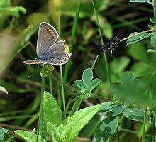 Female Common Blue 01 by Sharon Perrett
