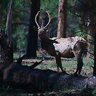 The Elk by Timothy L. Gernert