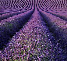 Lavender by Rachel Slater