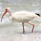 Ibis in the Surf by kinz4photo