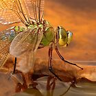 Emperor Dragonfly by Neil Bygrave (NATURELENS)