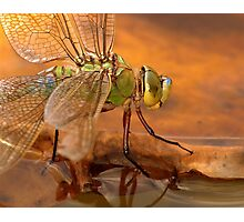 Emperor Dragonfly Photographic Print