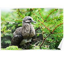 Baby Mourning Dove Poster