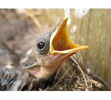Young Blackbird II Photographic Print