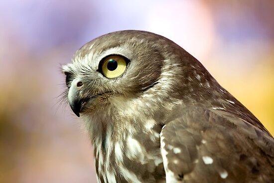 Barking Owl by Richard Majlinder
