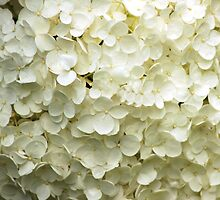 White Hydrangea by Kathleen Struckle