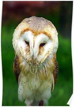 Barn Owl by Trevor Kersley