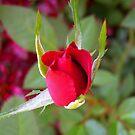 *RED ROSE BUD* by Van Coleman