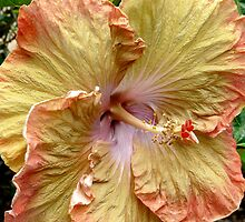 orange and yellow hibiscus by tego53