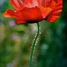 Red Poppy in the sun by Humminggirl