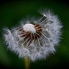 3/4 Dandelion by Humminggirl