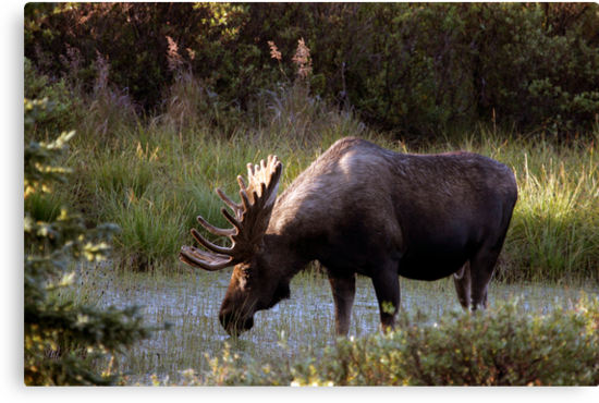 Bull Moose - 11646 by BartElder