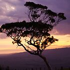 Eucalyptus Sunset by BettyOConnell