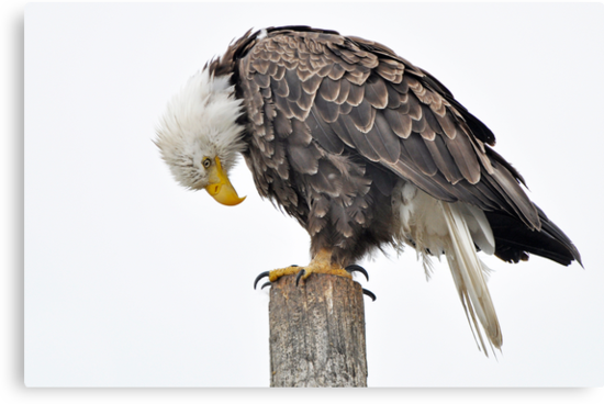 Seeing is Believing - American  Bald Eagle by Barbara Burkhardt