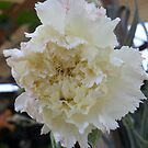 White Carnation With a Hint of Pink by AlieW