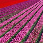 Dutch Tulips by Adri  Padmos