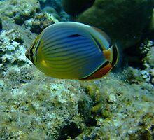 mellon butterfly fish by springbob