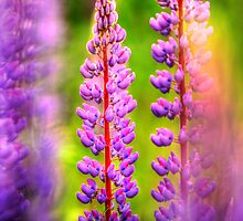 hdr lupins by Jamie Roach