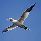 Backlit Gannet by kernuak