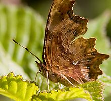Comma Butterfly by Neil Bygrave (NATURELENS)