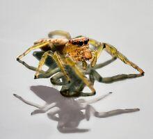 Jumping spider by Richard Majlinder