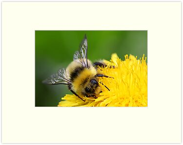 Bumble bee by Melinda Gaal