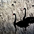 Black swans 2. by DaveBassett