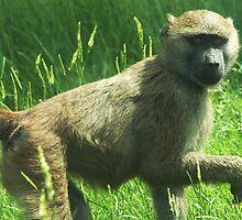 Baboon by Mel Preston