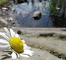 Daisy by the River by KeithMaki