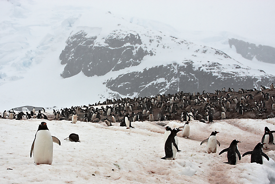"Gentoo Penguins ~ ""Penguinville, Curville Island, Antarctica"" by Robert Elliott"
