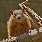 Woodchuck by kenmo
