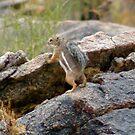 Chipmunk wonder !  by Bonnie Pelton