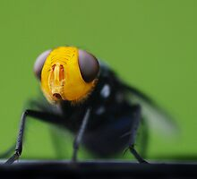 yellow faced fly by Susan Kelly