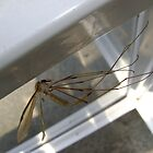 weightless (Cranefly) by armadillozenith