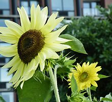 Sunflower Grows In Tribeca by joan warburton